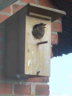 Nistkasten mit jungem Vogel